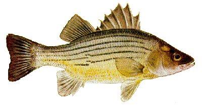 Lake murray south carolina us fish identification chart for South carolina freshwater fish