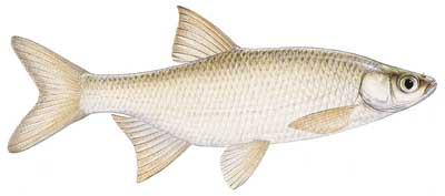 Lake Wylie, North Carolina, US Fish Identification Chart